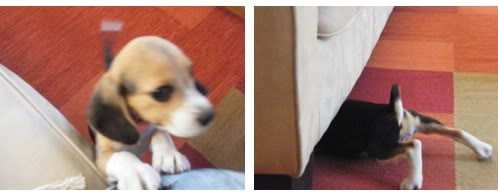 beagle-lily-chile-3