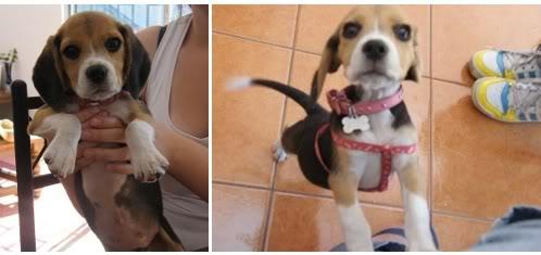beagle-lily-chile-7