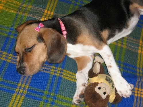 beagle-micaela-colombia-1