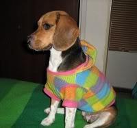 perrita beagle con ropa
