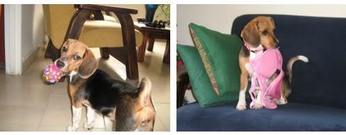 beagle-micaela-colombia-3
