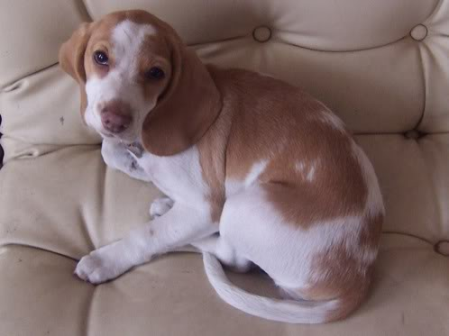 beagle bicolor en el sofá