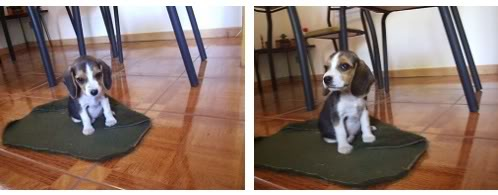 cachorrita de beagle en alfombrilla