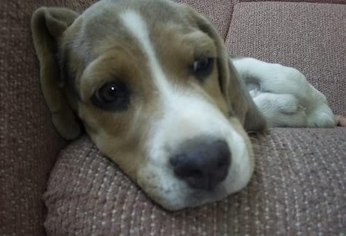 beagle-spot-mexico-1