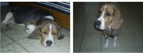 beagle-spot-mexico-2