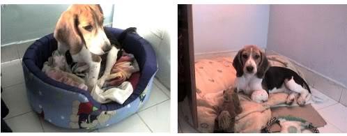 beagle-teo-canasto