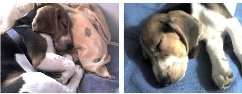 beagle-teo-dormido