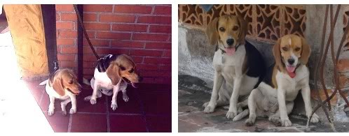 beagles-waldo-adda-1