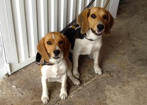 beagles-waldo-adda