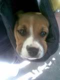 perrita beagle Luka