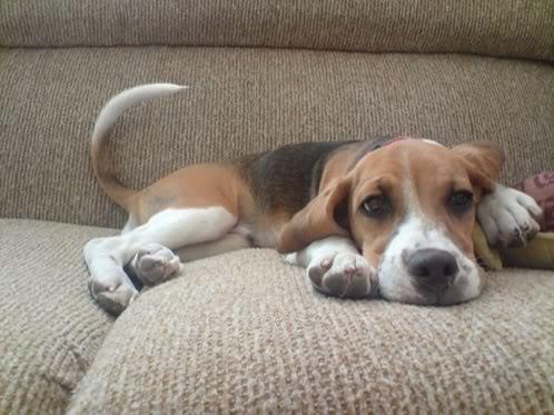 beagle Luka con 4 meses