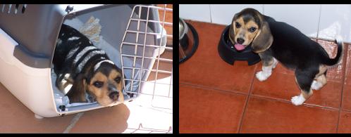 beagle-lola-gijon-2