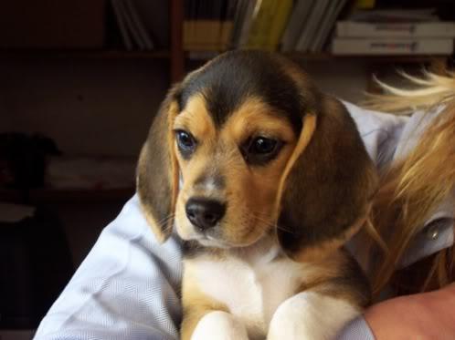 beagle-lola-gijon-3