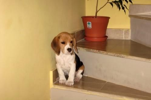 beagle-tricolor-luna-argentina-2