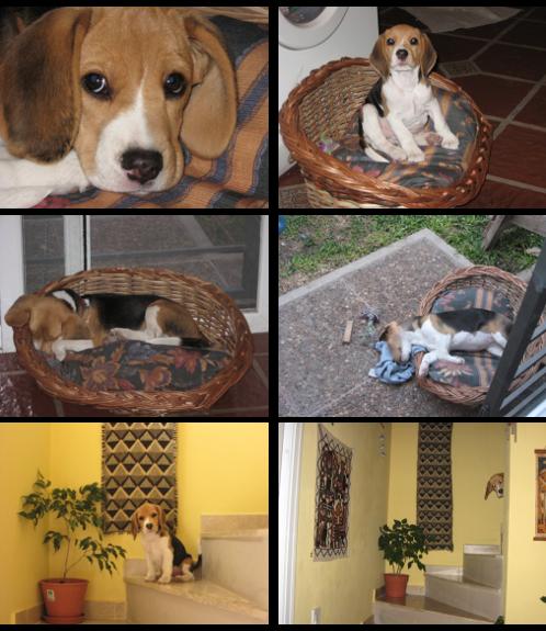 beagle-tricolor-luna-argentina-6