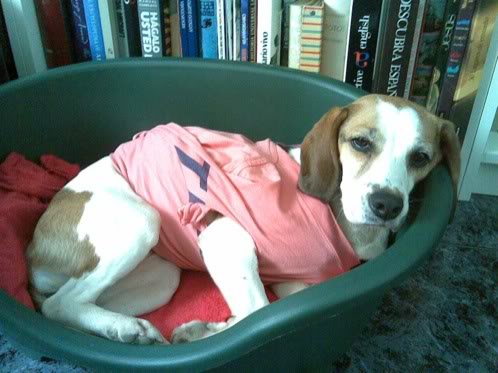 beagle-yoko-adoptada-2