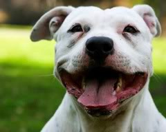 pitbullterrier