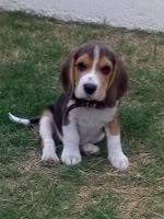 beagle-bruno-argentina-1