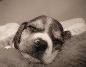 beagle-felipe-uruguay-3