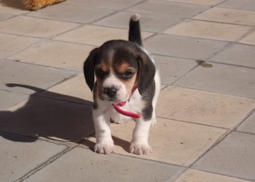 beagle-felipe-uruguay-4