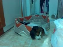 beagle-iaco-alicante-1