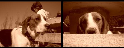 beagle-iaco-alicante-4