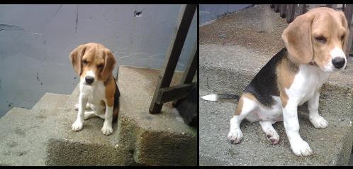 beagle-mili-ecuador-1