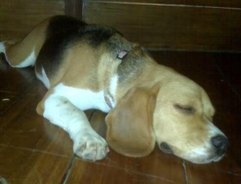 beagle-mili-ecuador-5