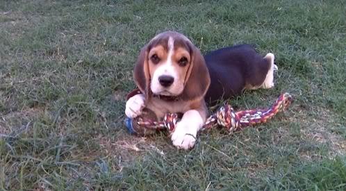 beagle bruno argentina