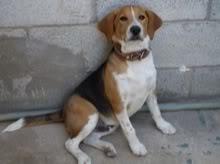 beagle_frodo
