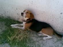 beagle_sony mexico