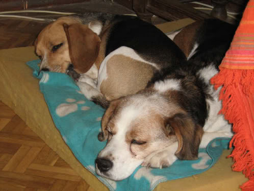 beagles Bigue y Elfa durmiendo juntas