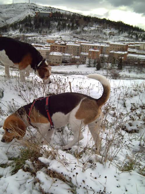 beagles en paisaje nevado de Soria