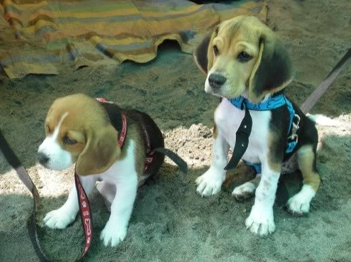 beagles-simba-nala