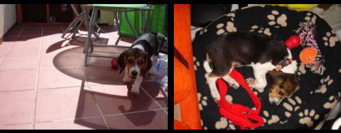 beagle-nora-almeria-2