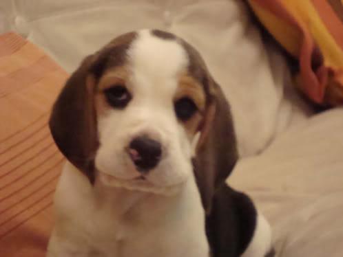 beagle-oliver-argentina-1