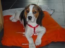 beagle-ron-sant_cugat-3