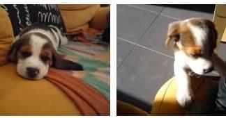 beagle-ron-sant_cugat