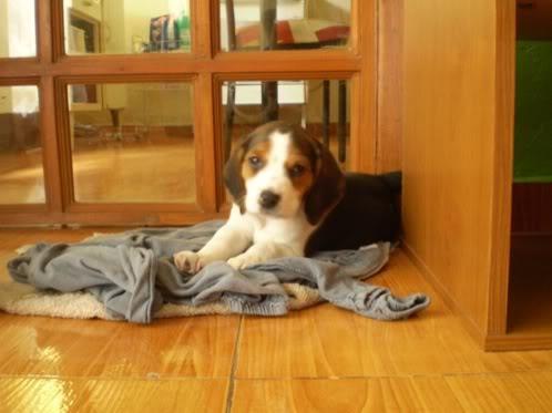 beagle-sherlock-adopcion