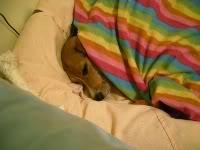 beagle-duna-las_palmas en su canasto