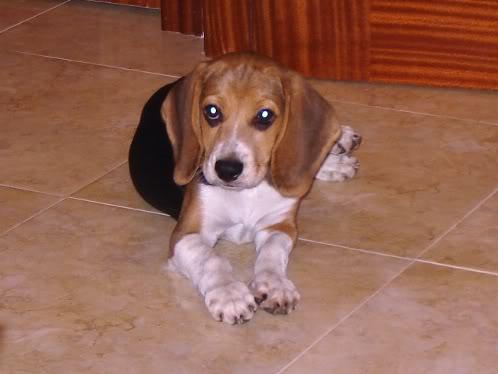 beagle con dermatitis atópica