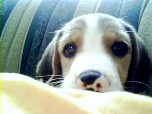 beagle-lukas-ramon-1