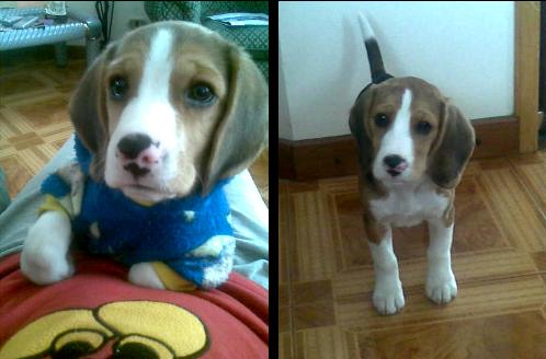 beagle-lukas-ramon-2