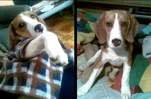 beagle-lukas-ramon-3
