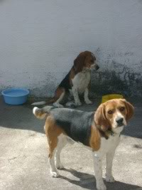 beagles-woddy-jessie