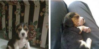 beagle-sussi-colombia