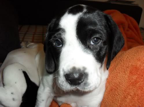beagle-mestizo-adopcion-1
