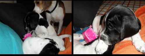 beagle-mestizo-adopcion-2