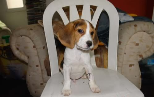 beagle-foster-xalapa-mexico-2