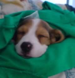 beagle-foster-xalapa-mexico-4